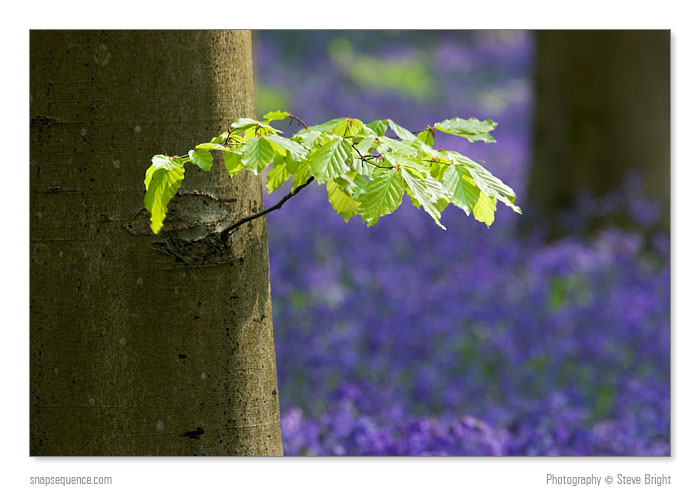 photoblog image Green Leaves And Bluebells